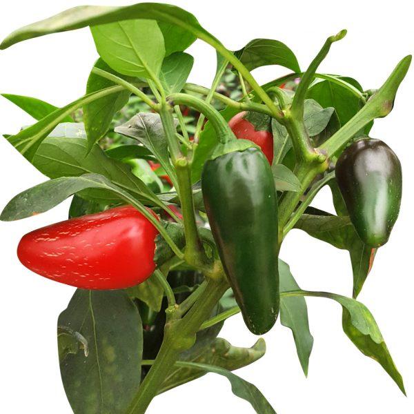 jalapeno chichimeca peperoncini vendita online